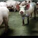 1000 varkens overleven brand niet