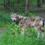 wolf-bos-bomen