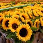 Rusland gaat strenger toezien op import bloemen uit Nederland