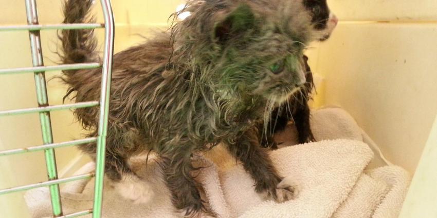 Met lijm besmeurde kitten overleden