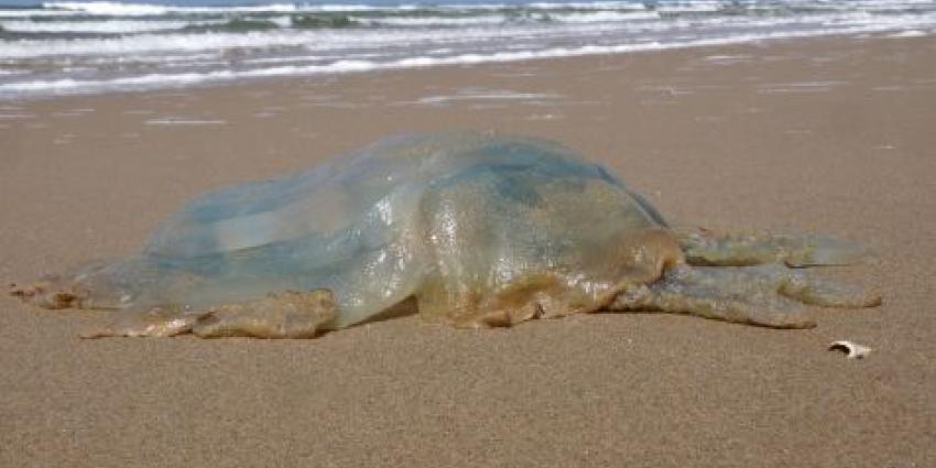 Foto van reuze kwal op strand | Ecomare