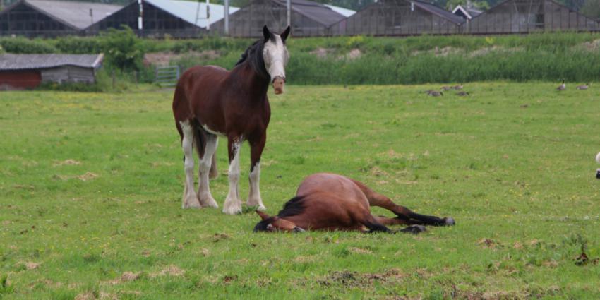 slapend paard in weiland