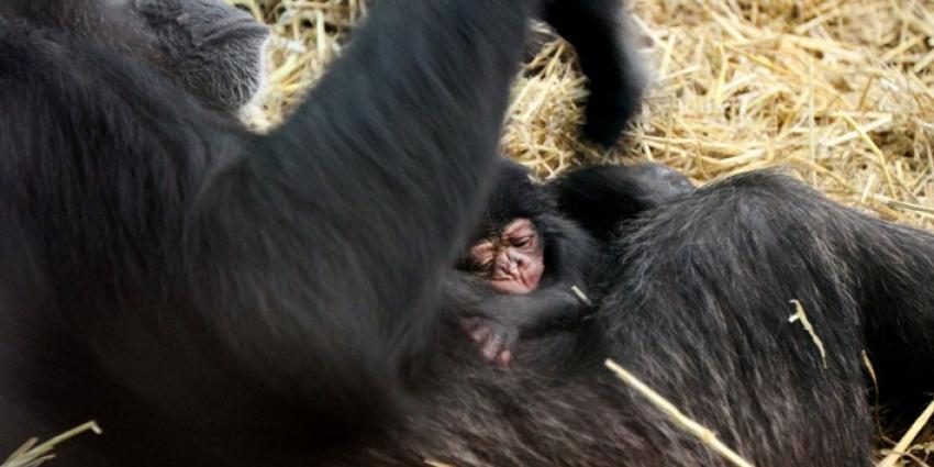 Foto van chimpansee Amber | Artis Ronald van Weeren
