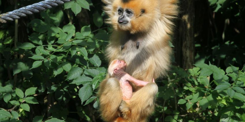 Kleinste mensaap in Artis geboren