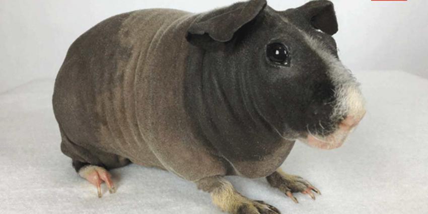 TNO en Defensie gebruiken cavia's en ratten in proef met zenuwgassen