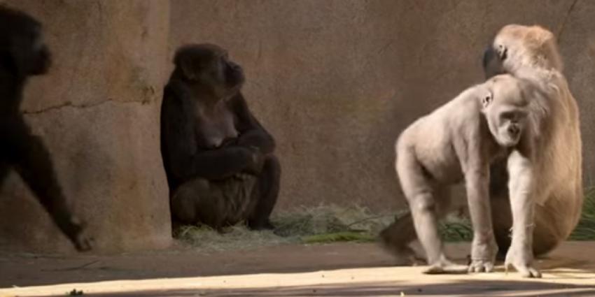 Nu ook gorilla's met corona besmet