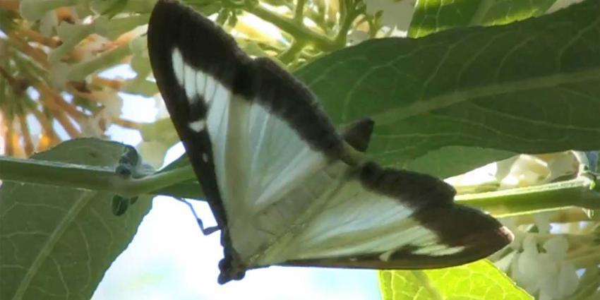 buxusmot-vlinderstichting