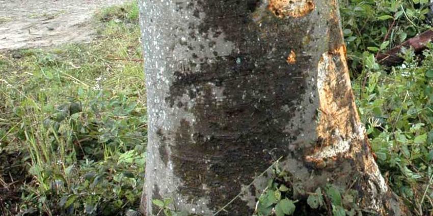 Man (37) overleden na botsing tegen boom in Sittard