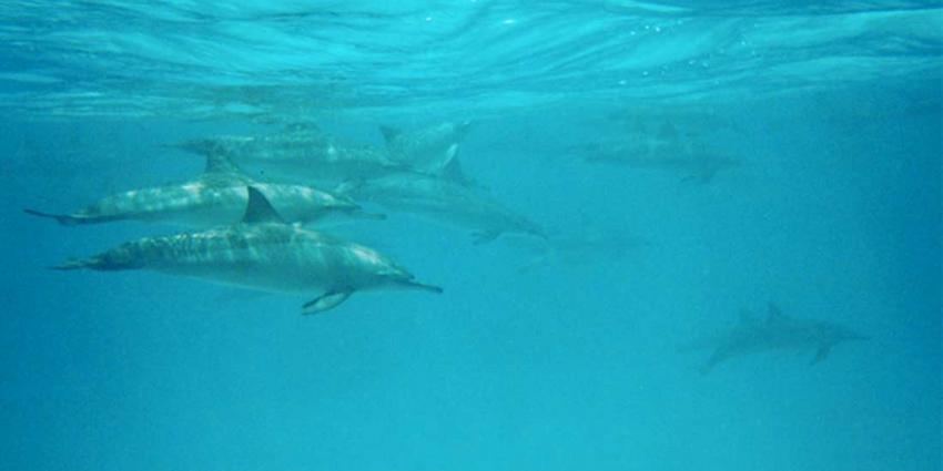 Universiteit Utrecht onderzoekt dood op Ameland aangespoelde dolfijnen