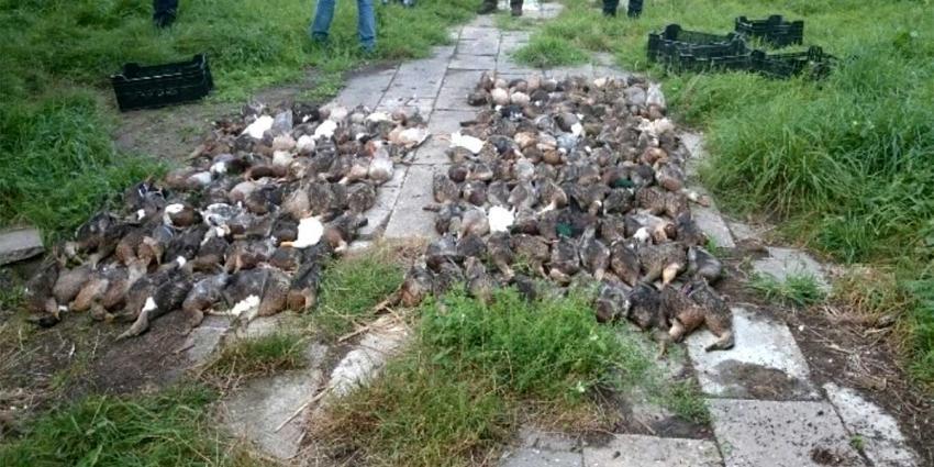 Bijna 200 dode eenden in illegale eendenkooi aangetroffen