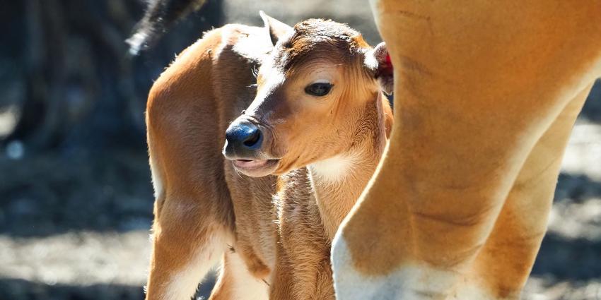 Batang stier geboren