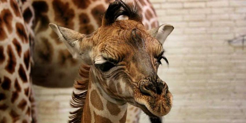 Dierenpark Emmen verblijd met geboorte girafje