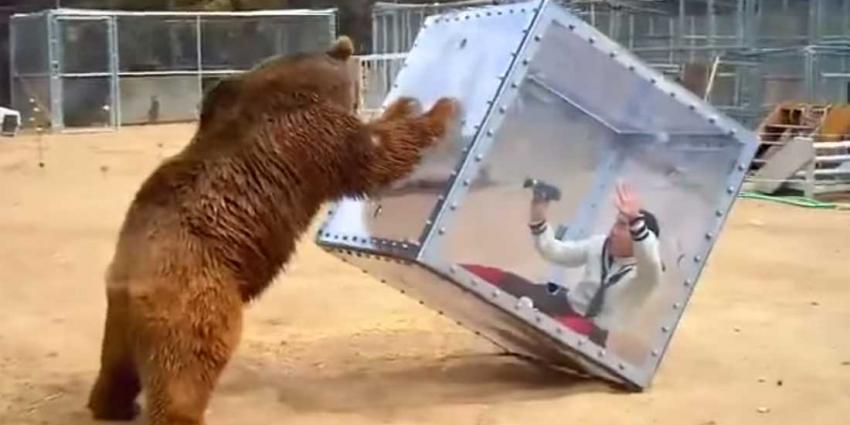 Grizzlybeer speelt met kubus waarin deelnemer Japanse spelshow zit
