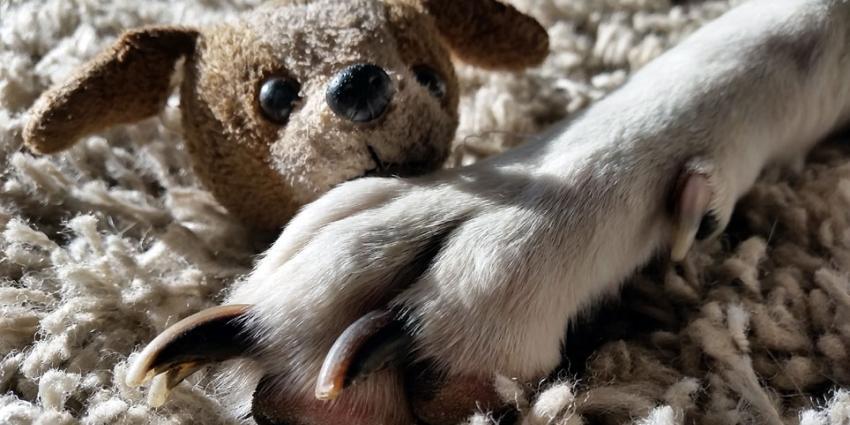 Uw hond droomt over u