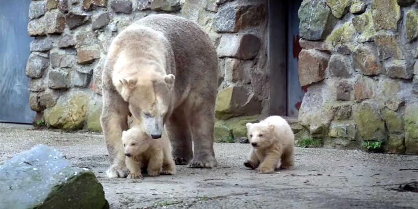 ijsbeer-tweeling