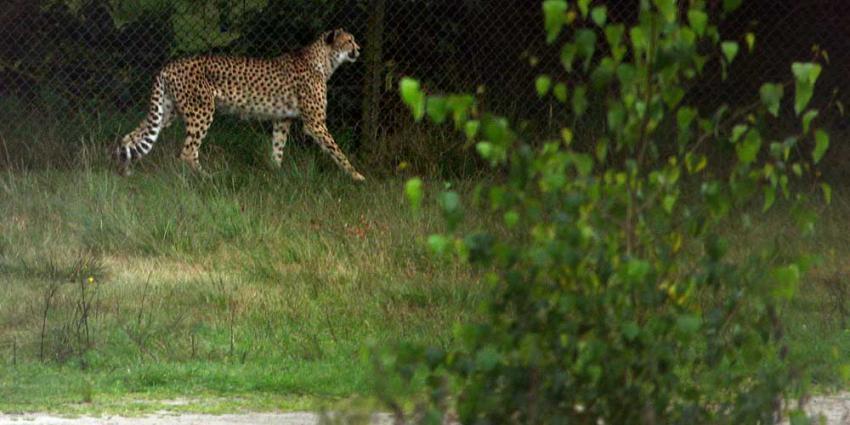 ZSL: jachtluipaarden wereldwijd mogelijk met uitsterven bedreigd