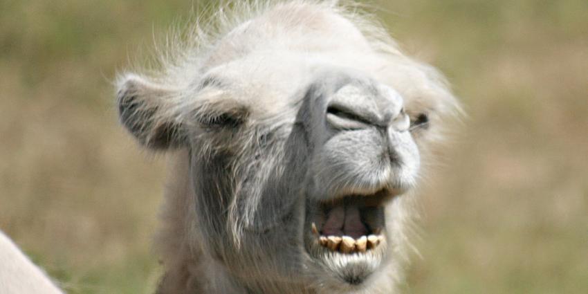 foto van kameel | DierenPark Amersfoort
