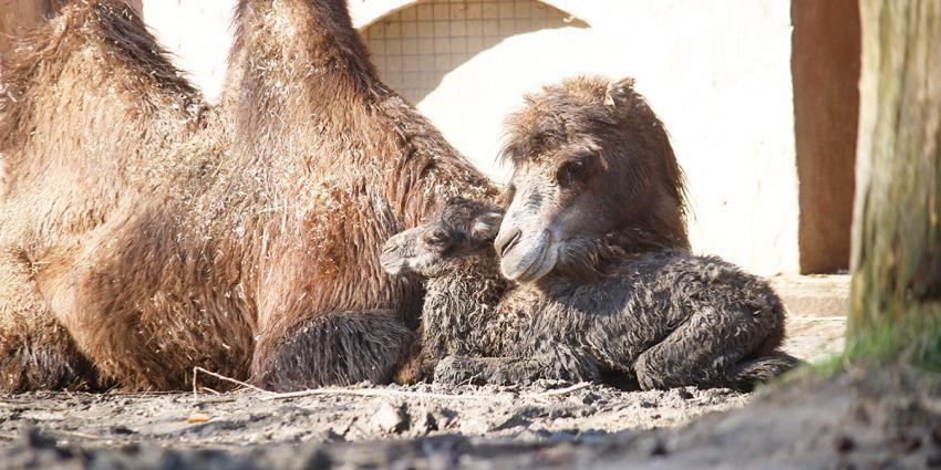 Kameeltje met moeder