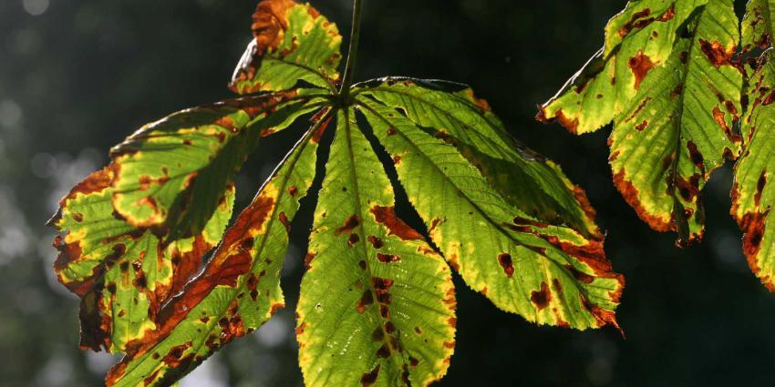 kastanje-blad-ziek