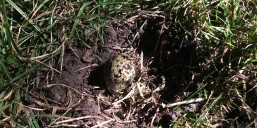 Eerste kievitsei gevonden, weidevogelseizoen 2018 van start gegaan