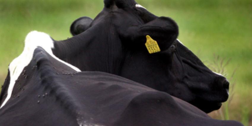 Foto van liggende koe | Archief EHF