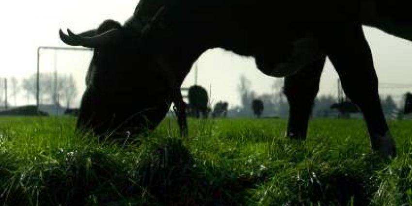 Foto van koe met horens in weiland | Archief EHF