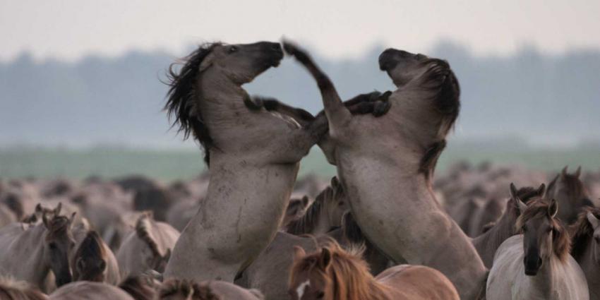 Boete voor bijvoeren wilde dieren Oostvaardersplassen
