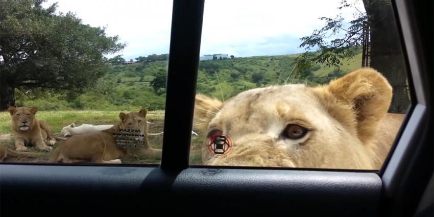Zo simpel opent een leeuw een autodeur