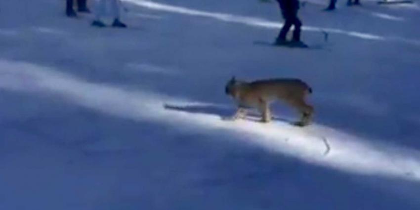 Kijk links een lynx op de skipiste!