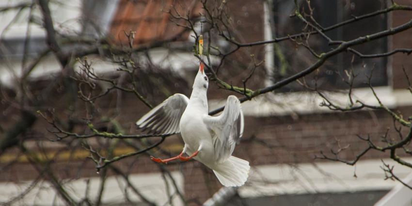 In Schiedam heeft een meeuw het zichzelf knap lastig gemaakt.