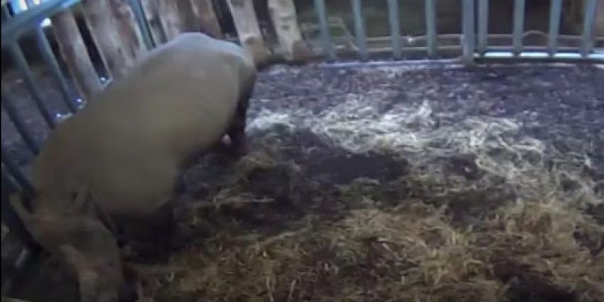 Neushoorn geboren in Burgers Zoo