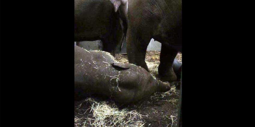 Jong Artis-olifantje Mumba stierf door herpesvirus