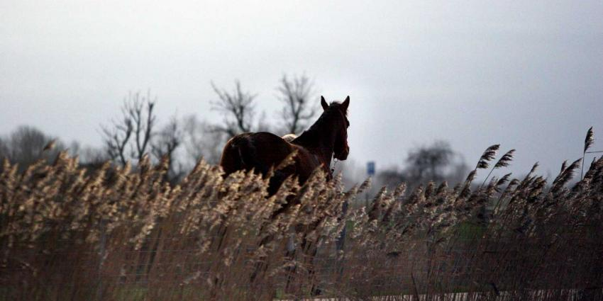 NVWA constateert gesjoemel met paardensperma