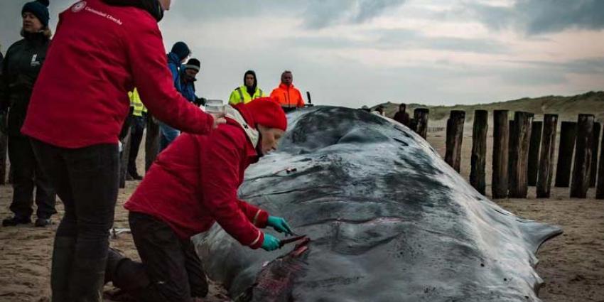Aangespoelde potvis mogelijk overleden aan darminfectie