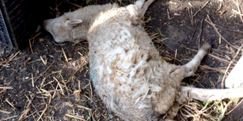 Ruim 30 schapenkadavers bij Gelderse veehouder aangetroffen