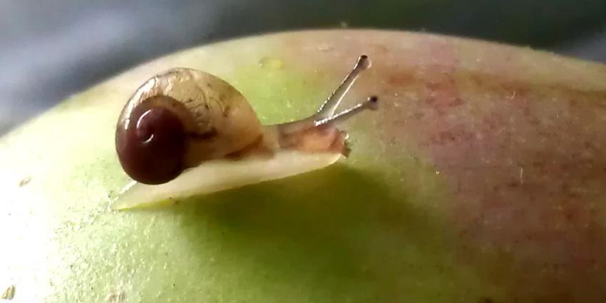 Foto van slakje op appel | Archief EHF