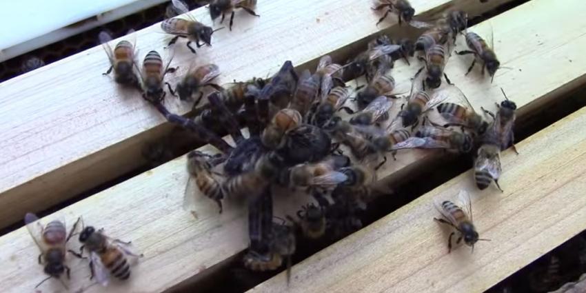 Grote spin redt aanval bijen niet