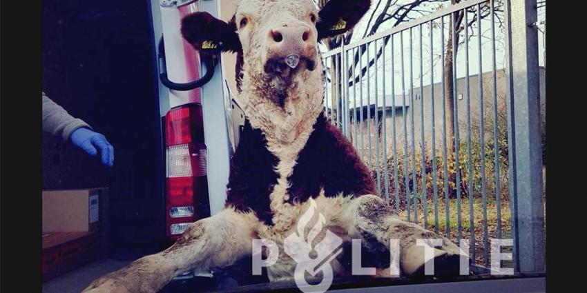 Klemgereden stier geeft zich over en legt poten op motorkap politieauto