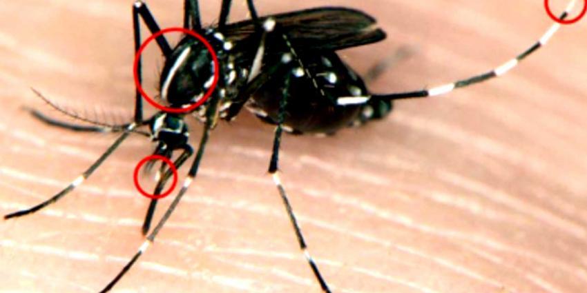 Aziatische tijgermuggen duiken op in Achterhoek