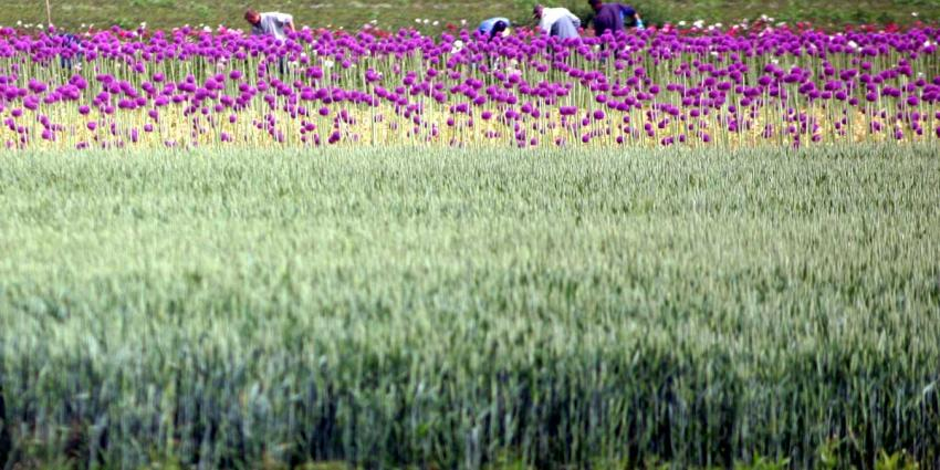Meer uien geteeld maar minder tarwe in 2016