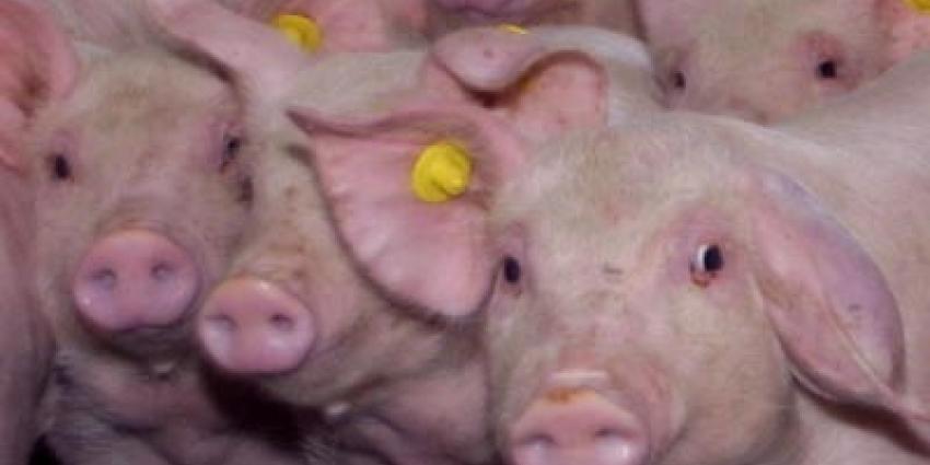 Foto van varkens | Archief EHF