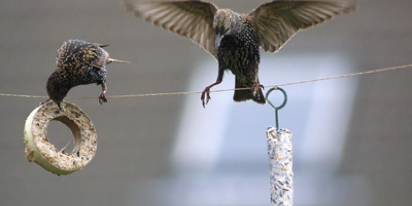 Foto van spreeuwen in de winter | Archief EHF