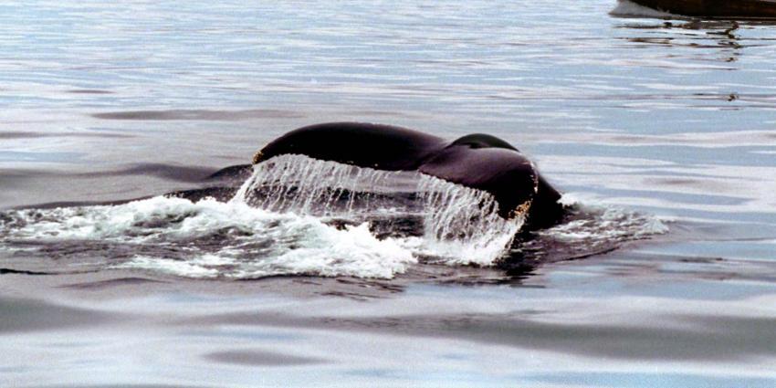 Walvis gespot voor Vlissingse boulevard