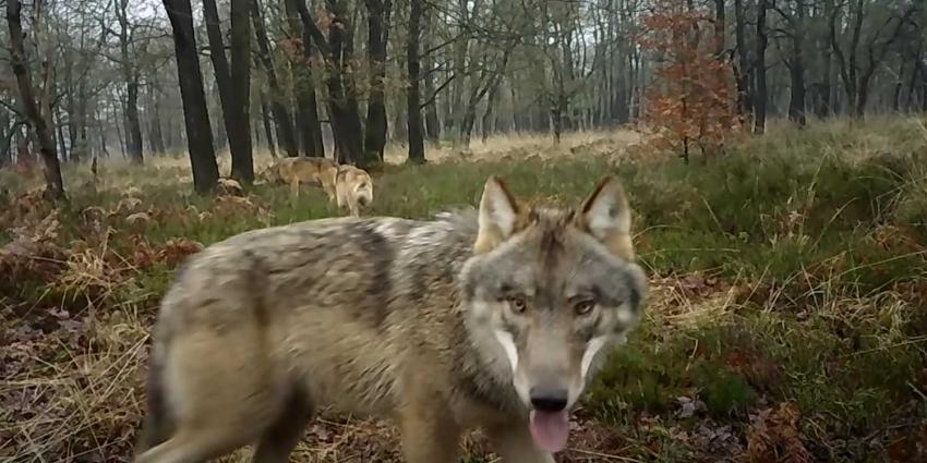 wolven-familie-veluwe