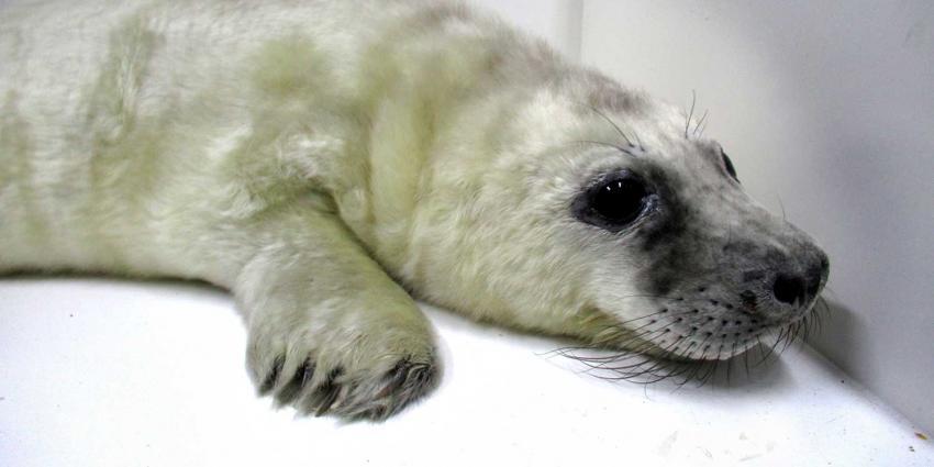 Eerste 'witte huiler' in Zeehondencentrum opgevangen
