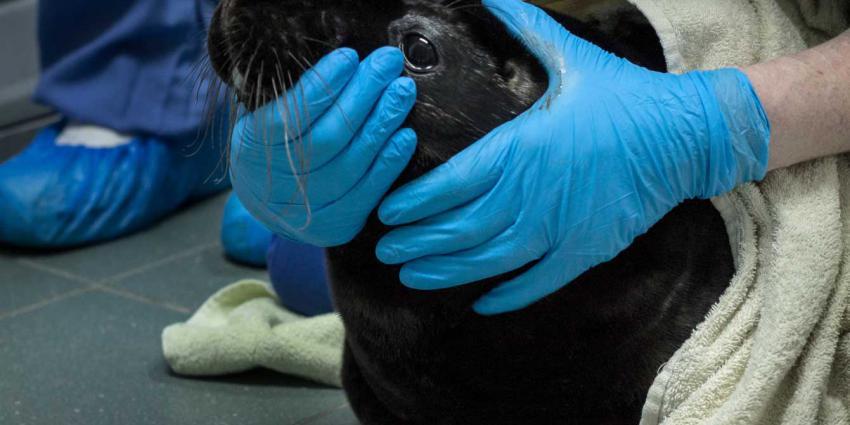 Zwarte zeehondenpup