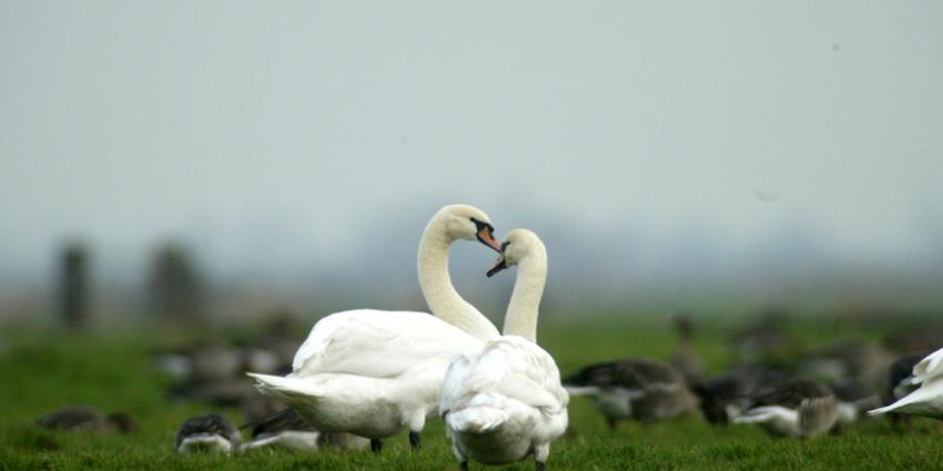 GroenLinks geschokt over massaal doden van zwanen in het Groene Hart