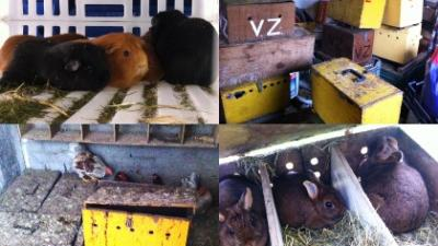 Foto van verwaarloosde cavia's en kippen | LID