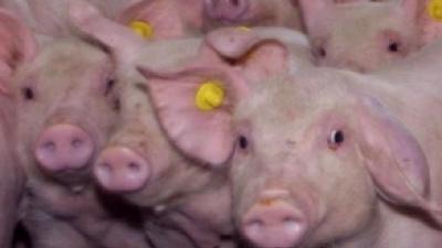 Foto van varkens | Archief FBF.nl