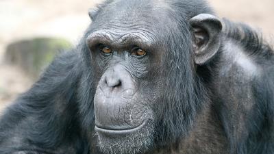 chimpansee Tumbili (21) overleden